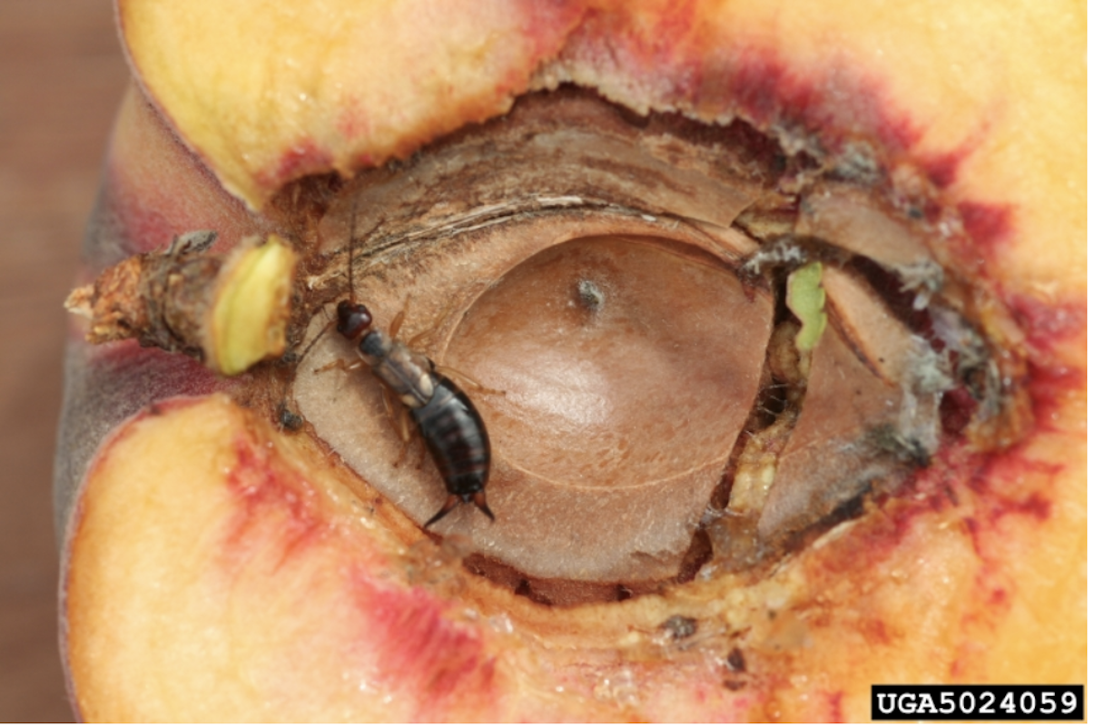 An earwig feeding on a peach.