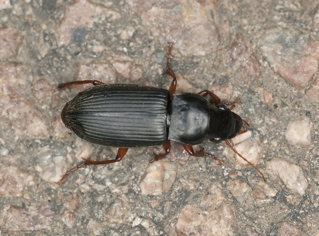 Top view of a ground beetle