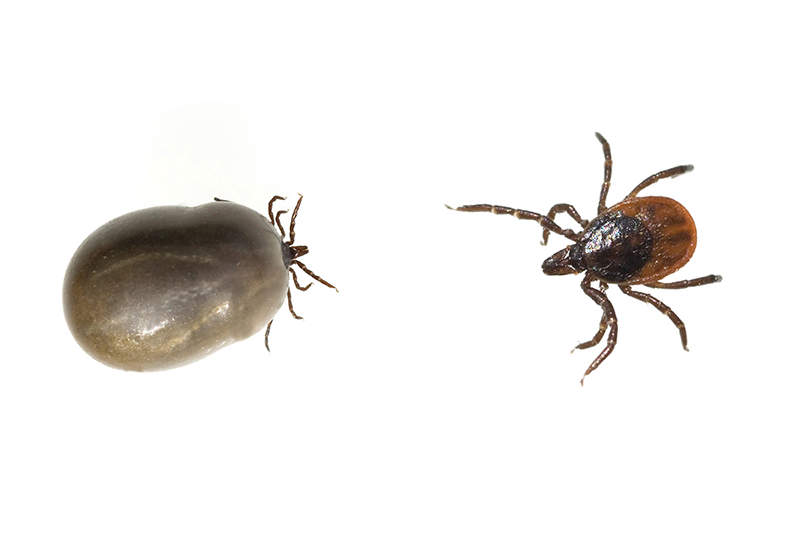 Comparing engorged tick and normal sized tick