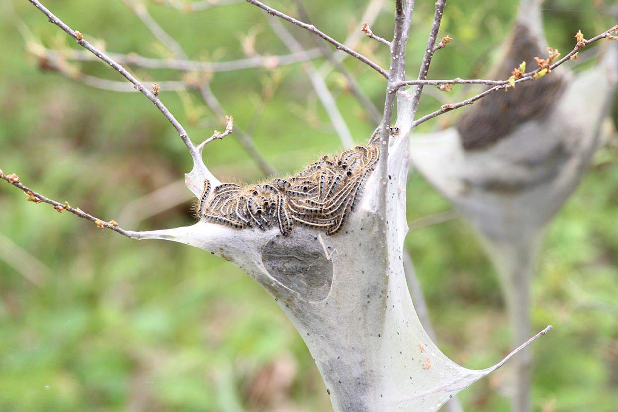 Eastern Tent Caterpillar on a tree