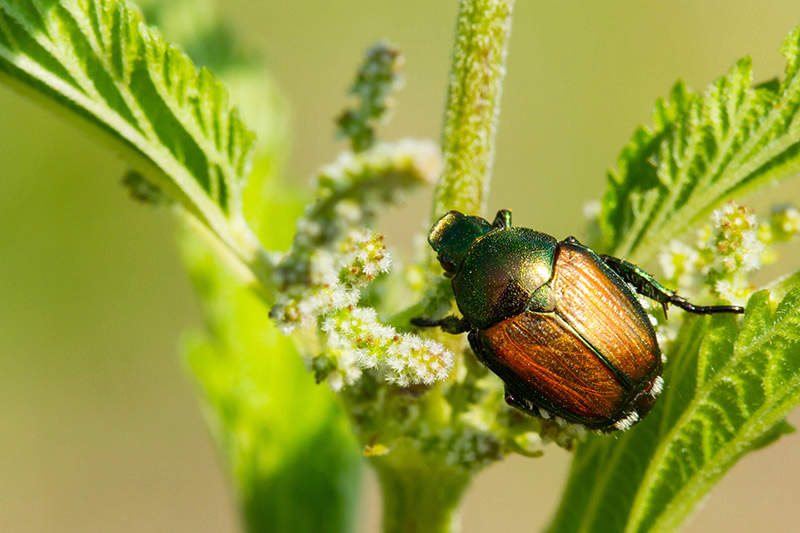 Japanese beetle on a plant