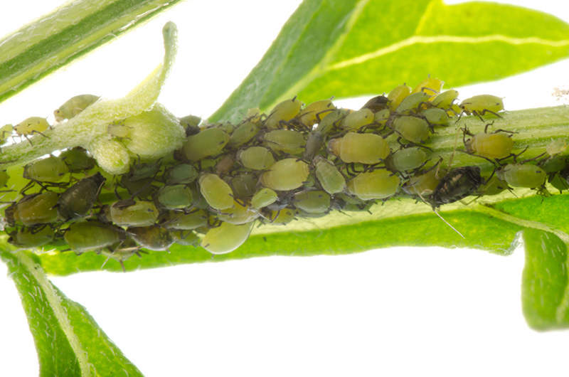 cluster of aphids on a plant