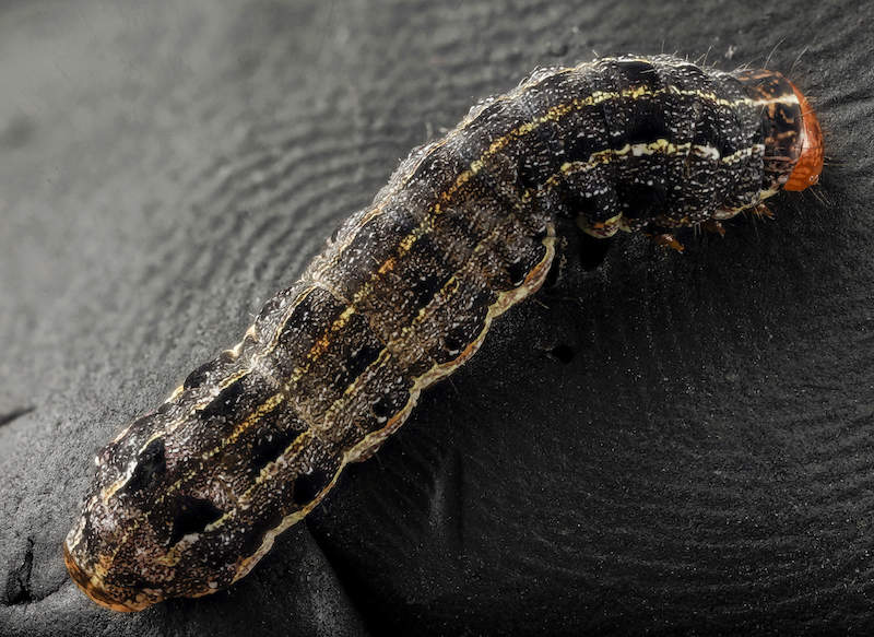 Southern Armyworm