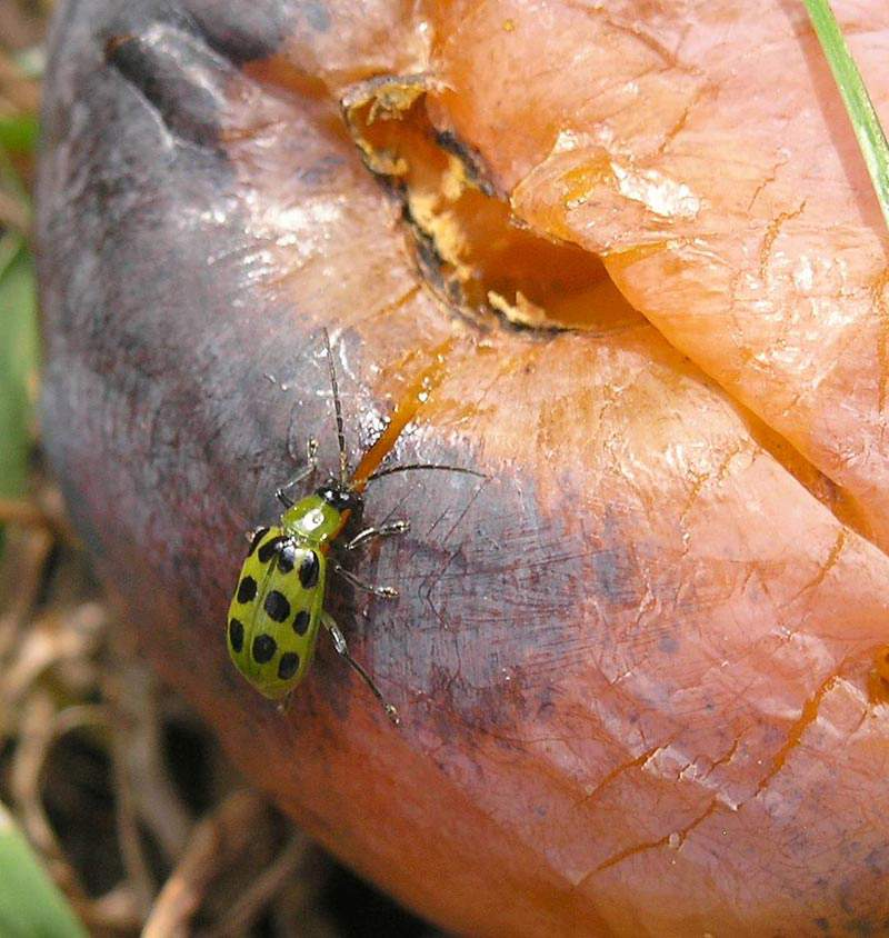 Adult cucumber beetle eating fruit