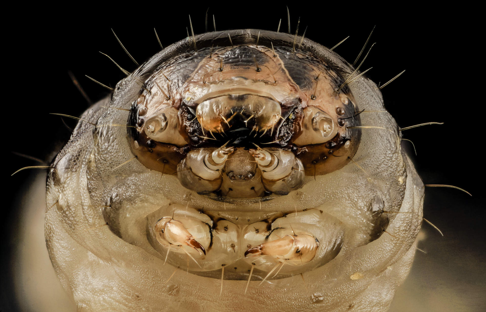 black cutworm face image