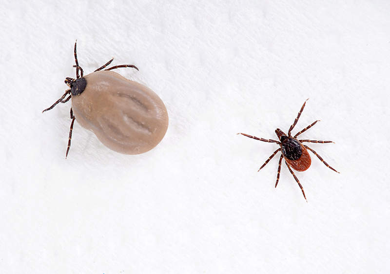 engorged and normal tick