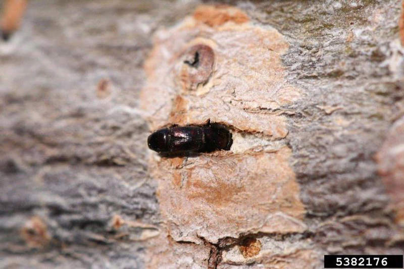 adult Elm bark Beetle