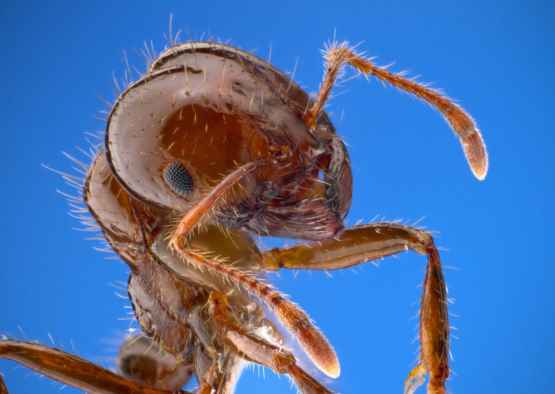 close up of fire ant worker
