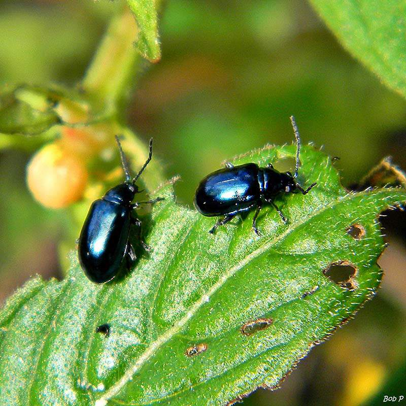 adult metallic blue flea beetle