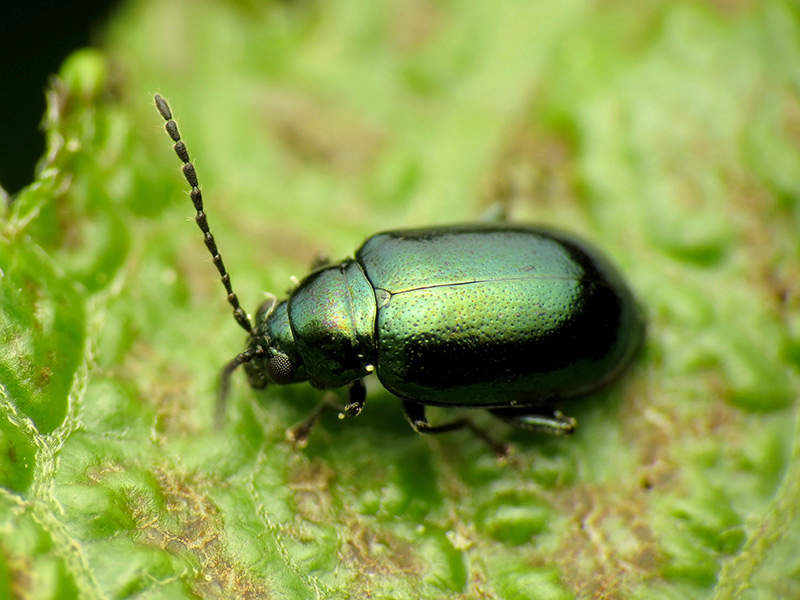 adult green flea beetle