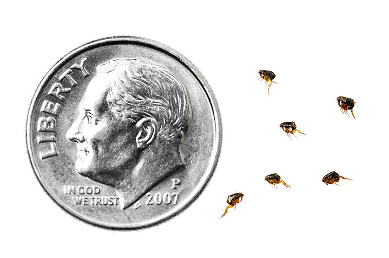 flea size compared to dime
