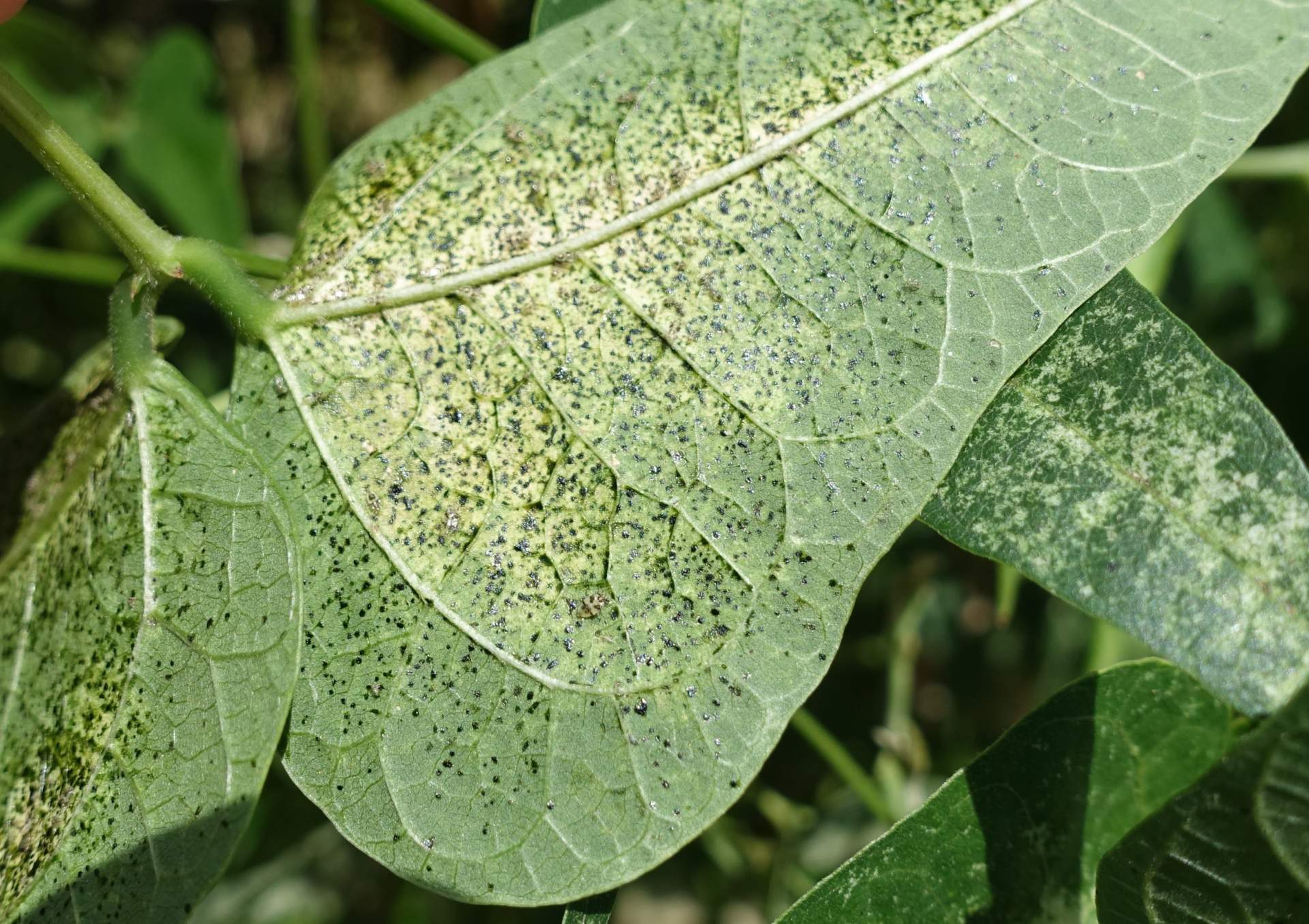 leaf damage caused by lace bugs