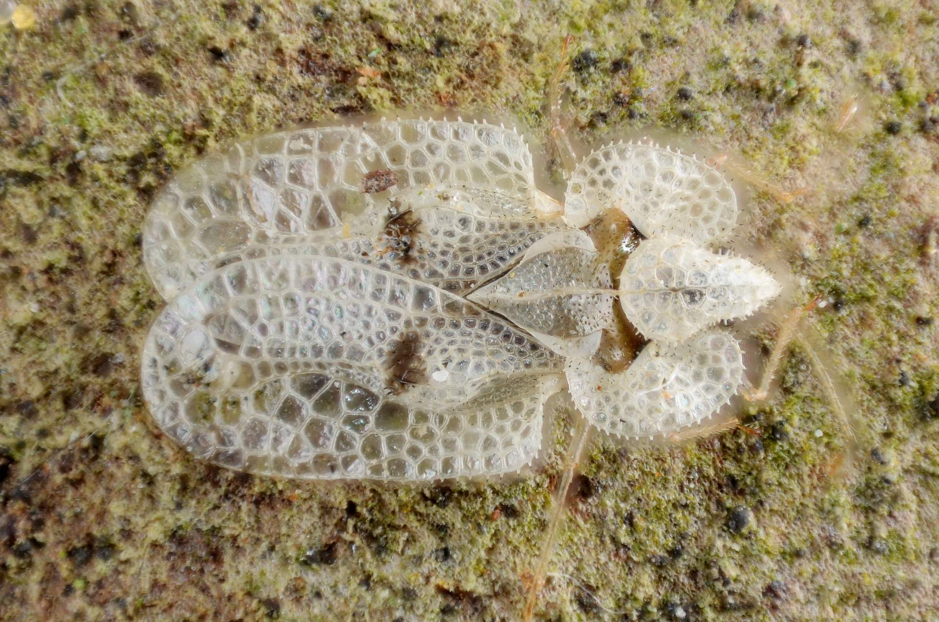 adult Sycamore Lace Bug