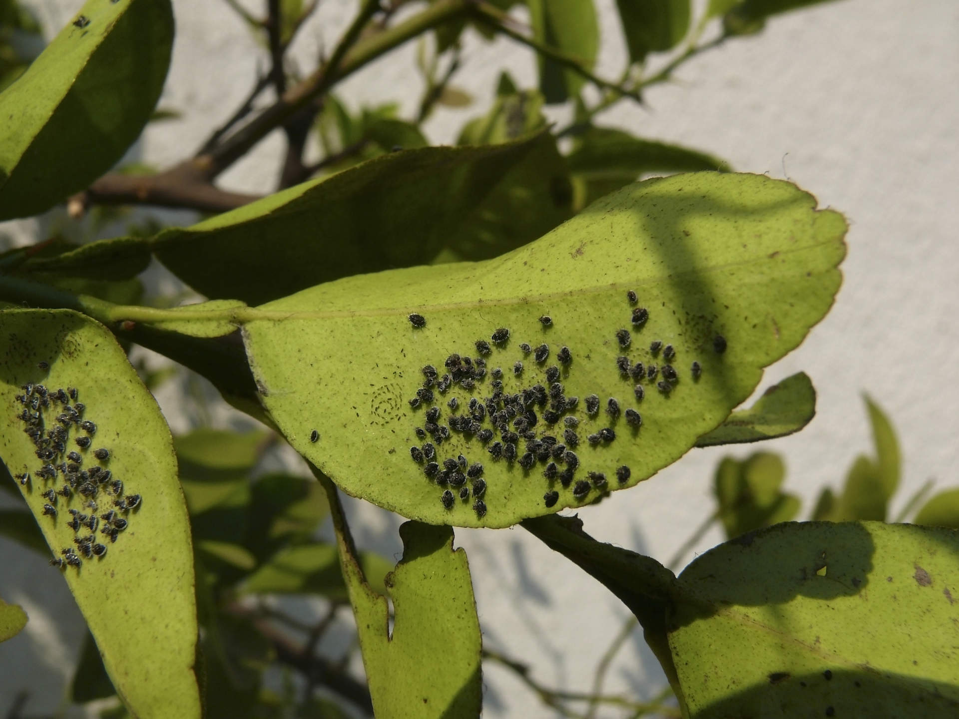 mass of lace bugs on leaf