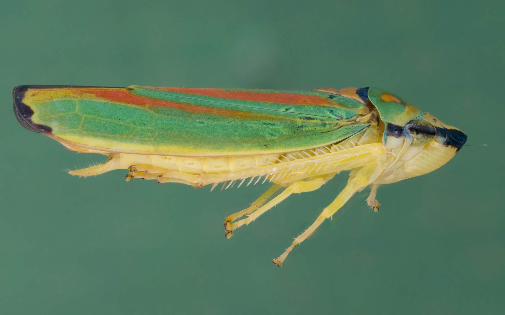close up of leaf hopper