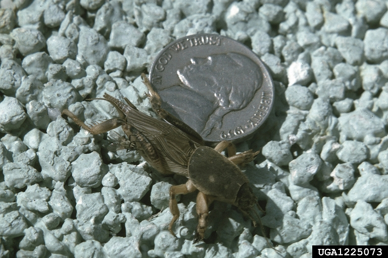 Male European mole cricket