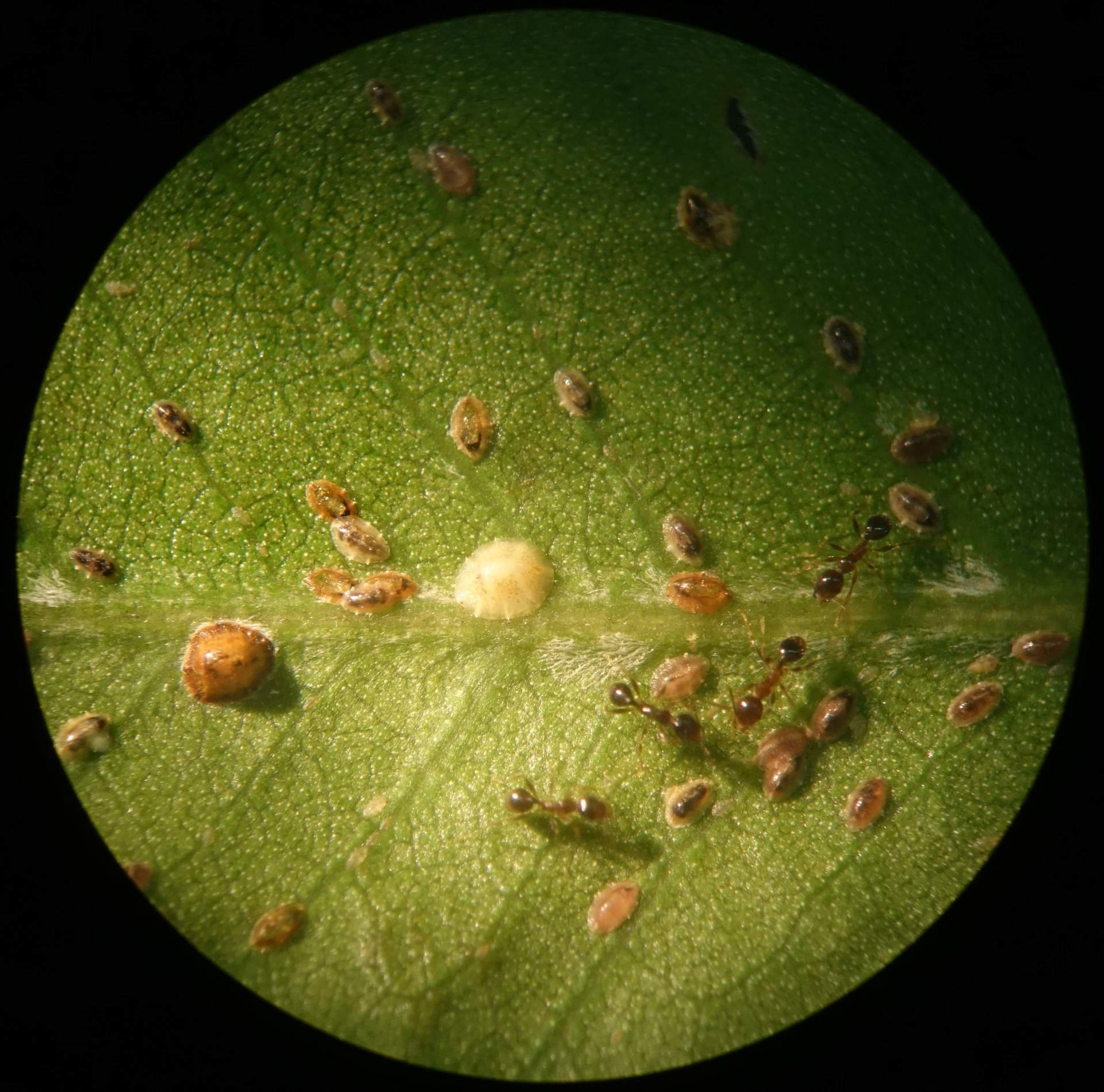 Ants and scale insects on a leaf