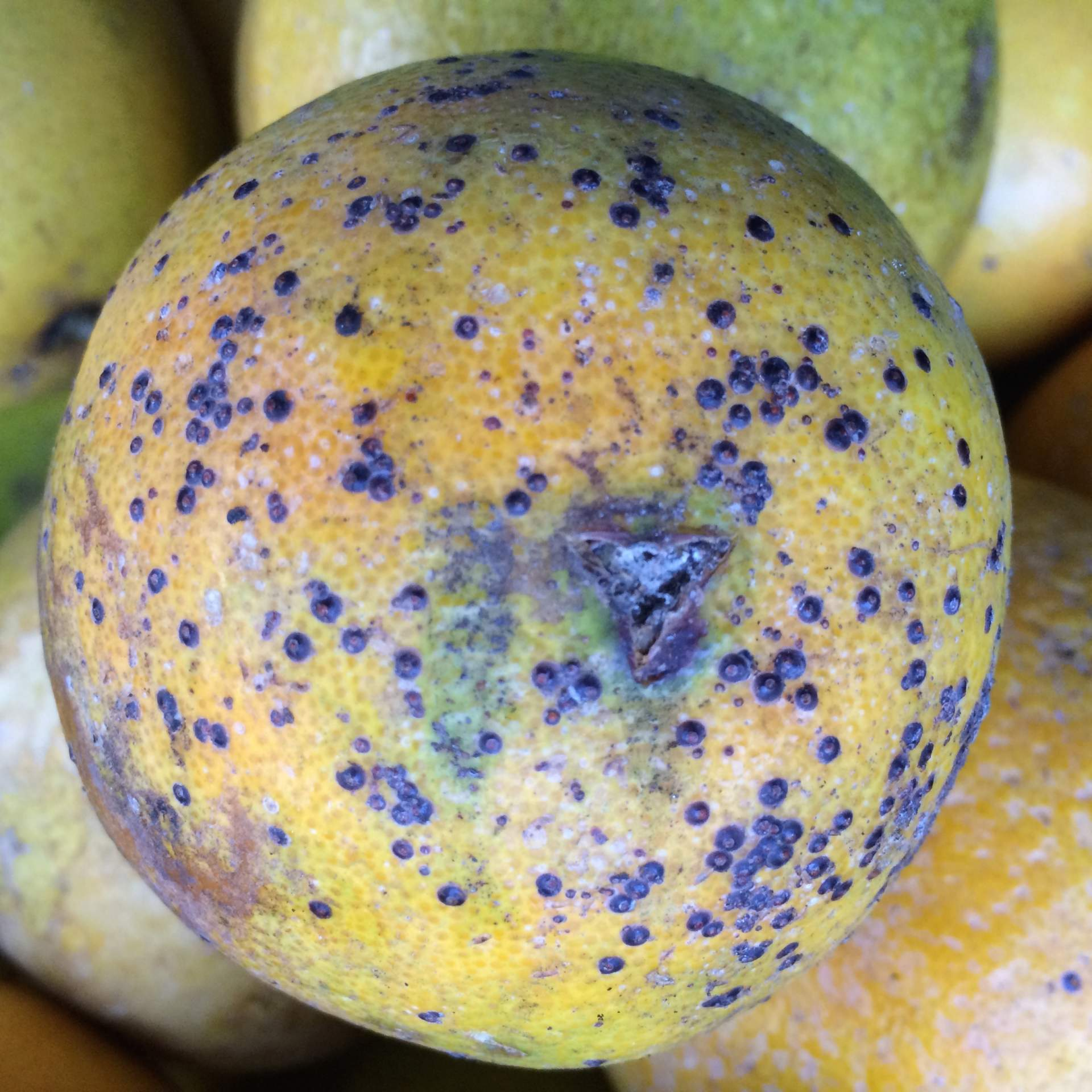 scale insects on citrus