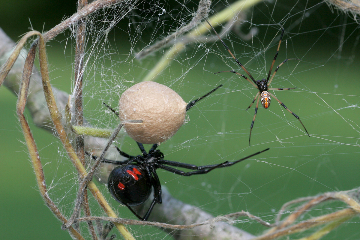 Male and Female Black Widow Spider and an egg