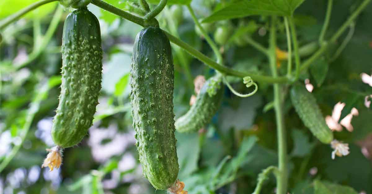cucumbers on a vine