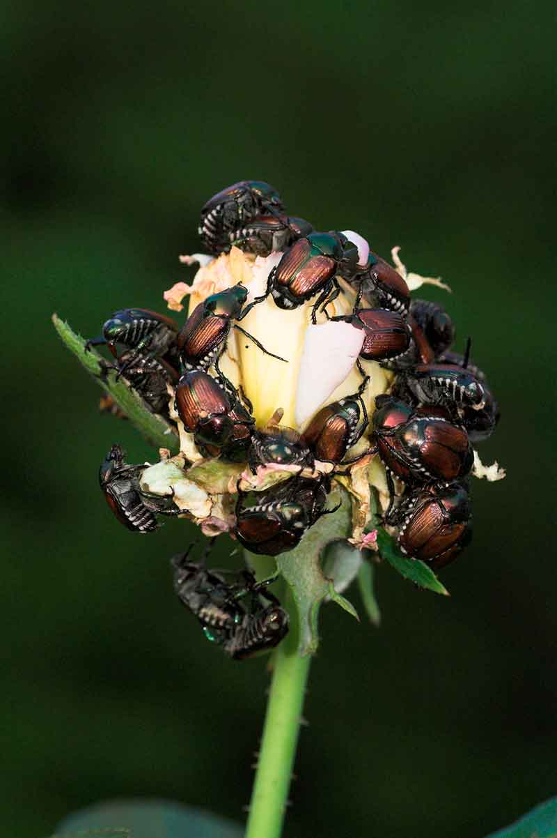How To Protect Your Trees And Shrubs From Japanese Beetle Damage