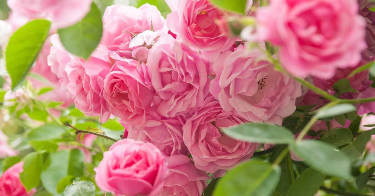 Protecting Roses from Aphids and Other Common Pests