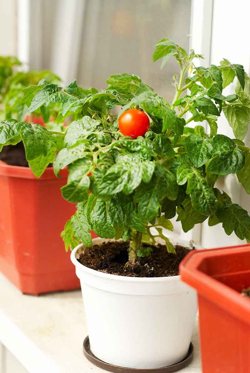 grow tomatoes in pots